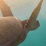 Nachtlicht-Schildkröte